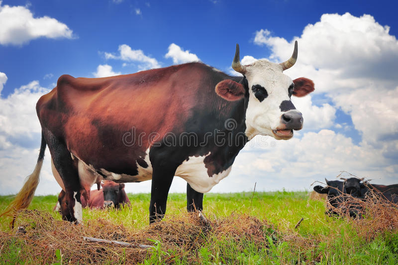 Cow on a summer pasture. On the blue sky background stock photography