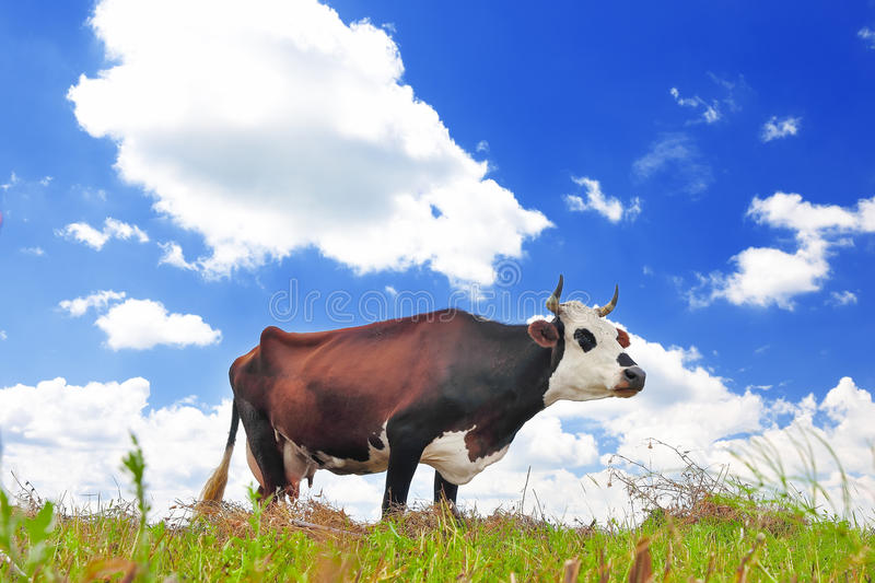 Download Cow On A Summer Pasture Stock Photo - Image: 41808617