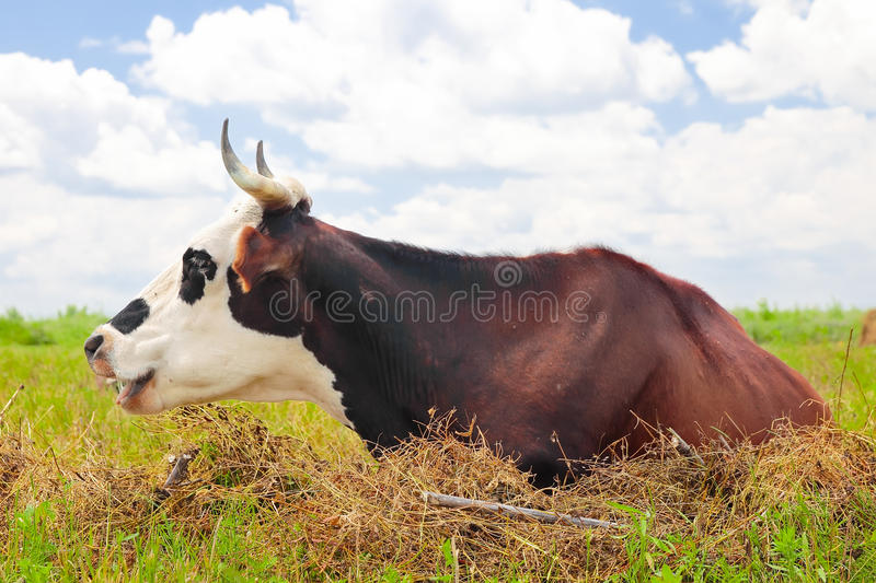 Download Cow on a summer pasture stock photo. Image of food, farming - 41808656