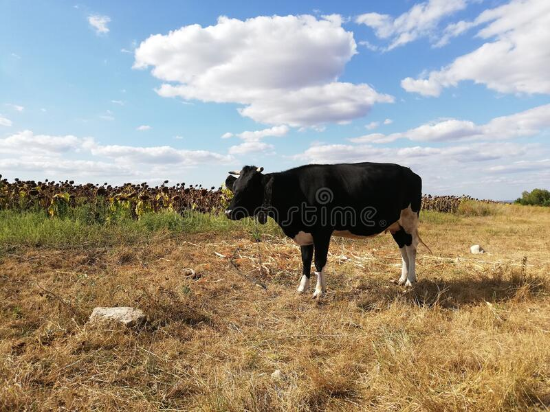 A cow in a sunflower field stock photos