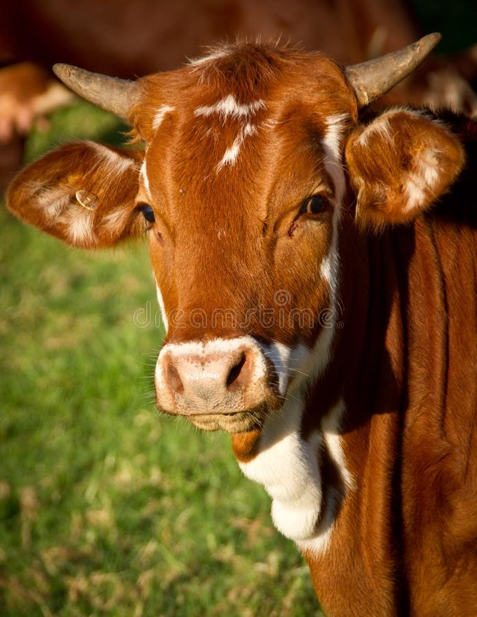 Cow in sunny field royalty free stock photo
