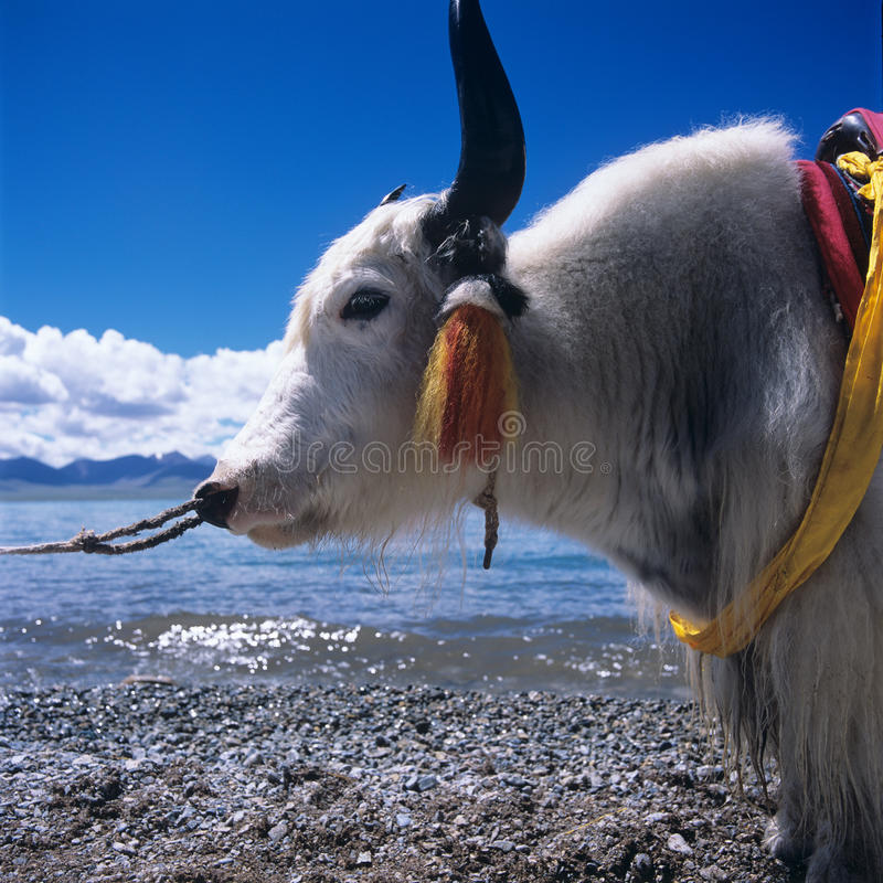 Cow in Tibet royalty free stock photography