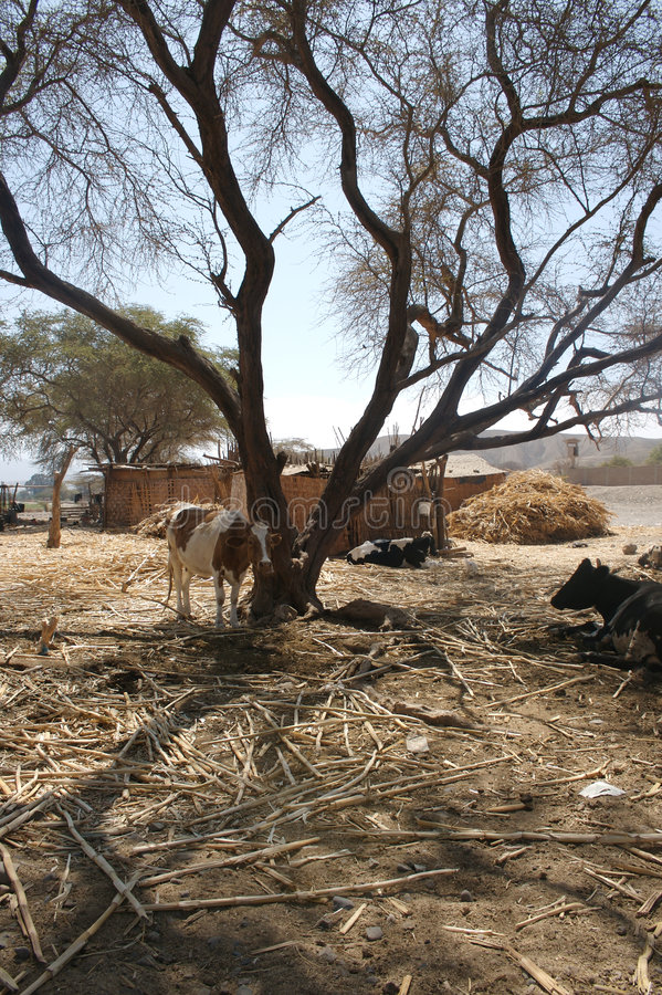 Download Cow under huarango tree stock photo. Image of homestead - 2673412
