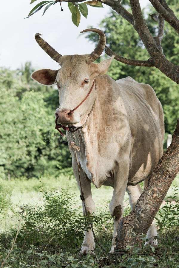 Download Cow stock image. Image of cattle, mammal, meat, green - 33241373