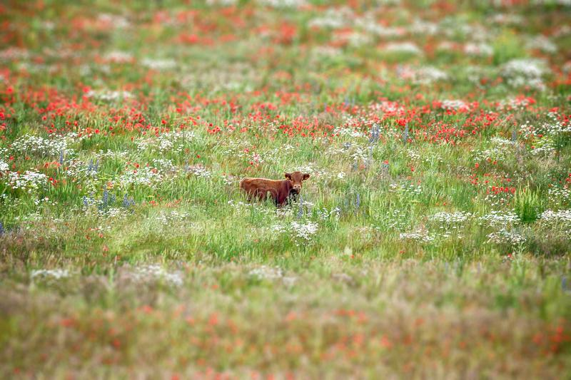 Cow in wild flower meadow. Beautiful brown dexter cow strolling in a stunning meadow of wild flowers. Daisies, poppies, and other natural wild plants. Shallow royalty free stock image