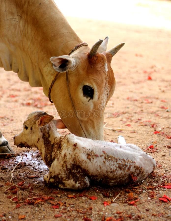 Free Cow With New Born Calf Stock Photo - 27574650