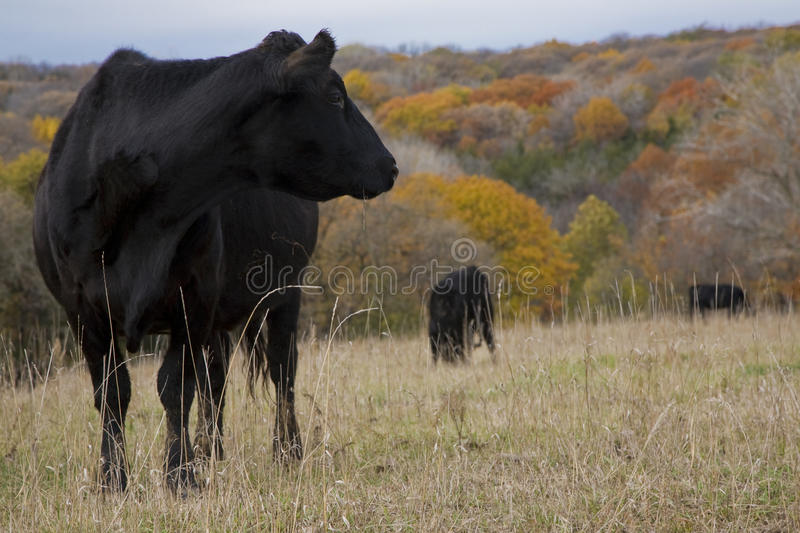 Cow1 stock images