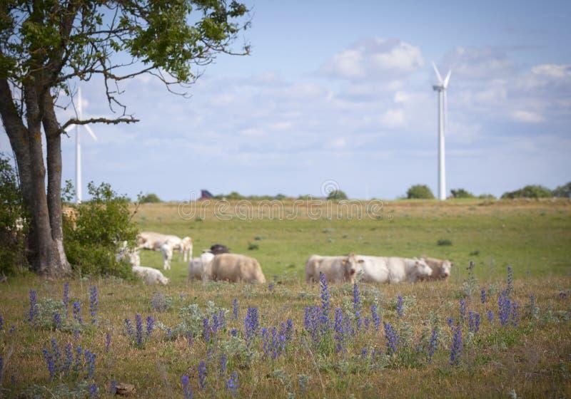 Download Cowa på ett fält arkivfoto. Bild av mjölka, bygd, grässlätt - 37349380