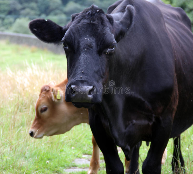 Download Cowand Calf stock image. Image of family, take, farm - 32904029