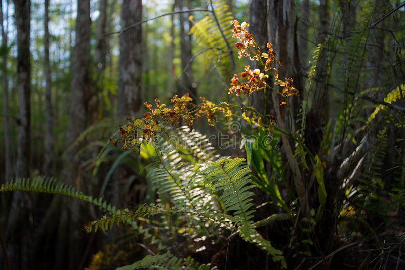 Cowbell orchidea zdjęcia stock