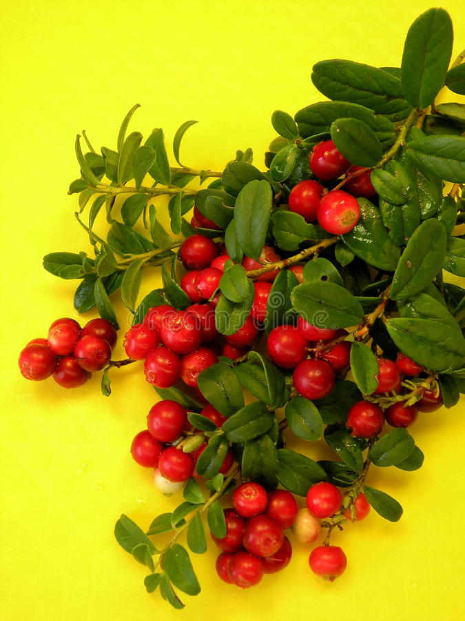 Download Cowberries stock image. Image of berry, branches, background - 31880585