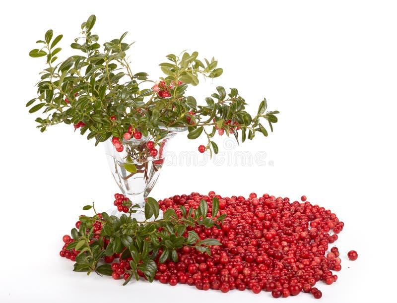 cowberry φρέσκα πράσινα φύλλα στοκ φωτογραφία