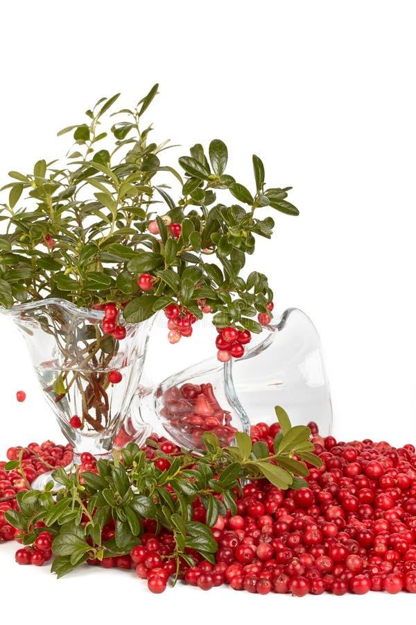 cowberry φρέσκα πράσινα φύλλα στοκ εικόνα με δικαίωμα ελεύθερης χρήσης