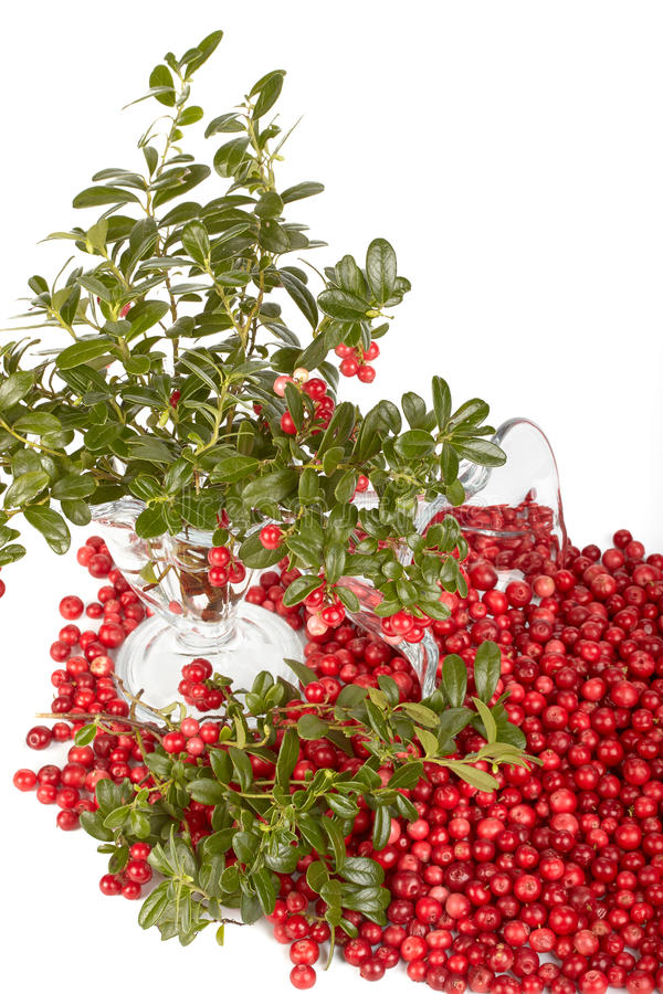 cowberry φρέσκα πράσινα φύλλα στοκ φωτογραφίες με δικαίωμα ελεύθερης χρήσης