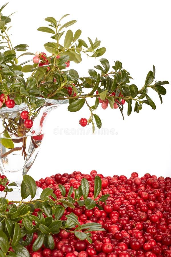 cowberry φρέσκα πράσινα φύλλα στοκ εικόνα