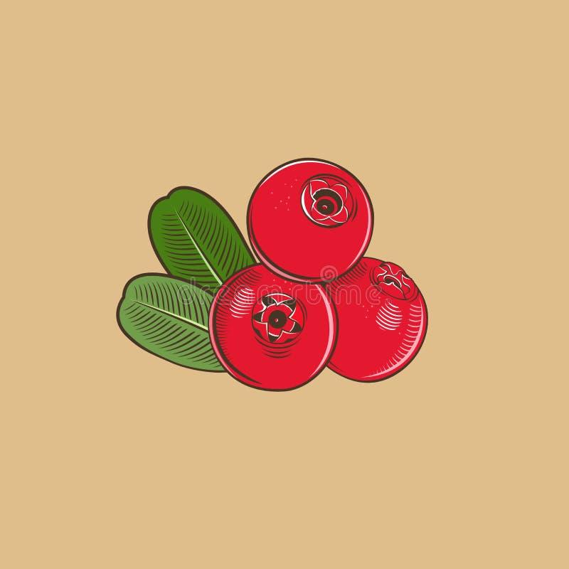 Cowberry в винтажном стиле Покрашенная иллюстрация вектора иллюстрация штока