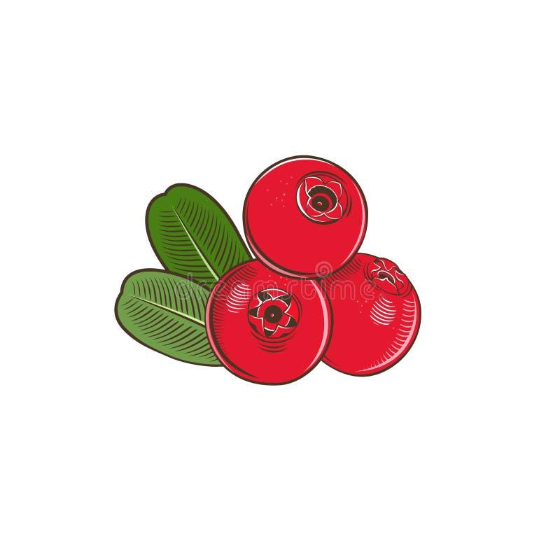 Cowberry в винтажном стиле иллюстрация штока