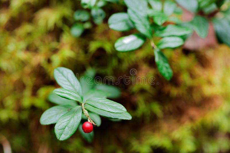 Cowberry. A cowberry on a green vegetative background in wood royalty free stock photography