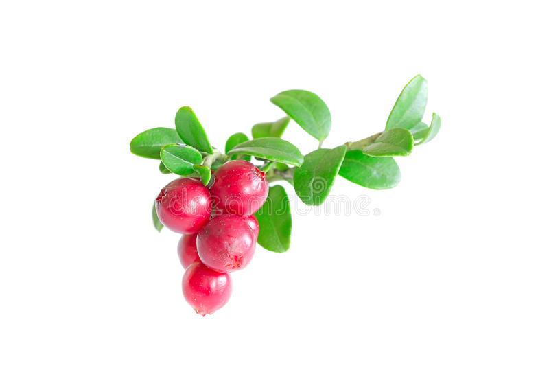 Cowberry. On white close up stock photos