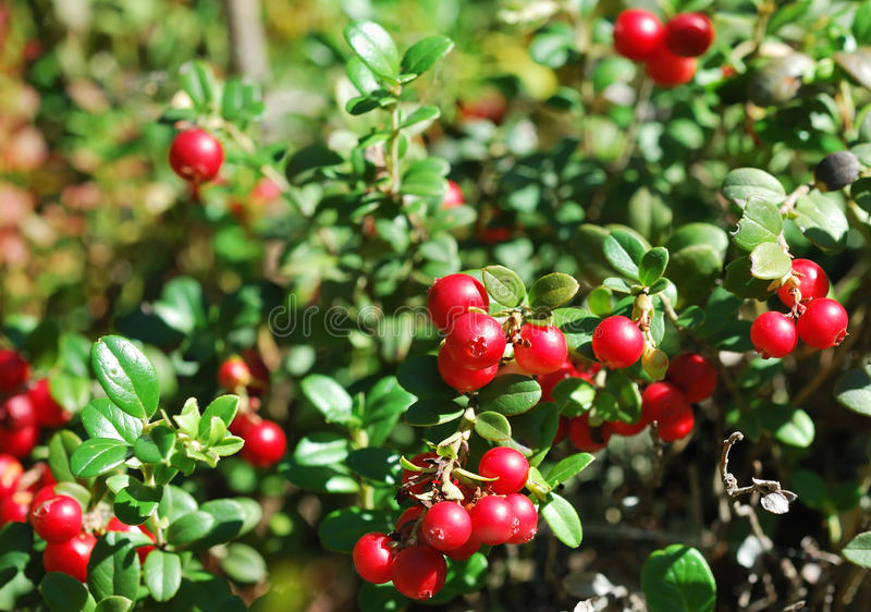 Cowberry. Close up of ripe cowberry stock photography