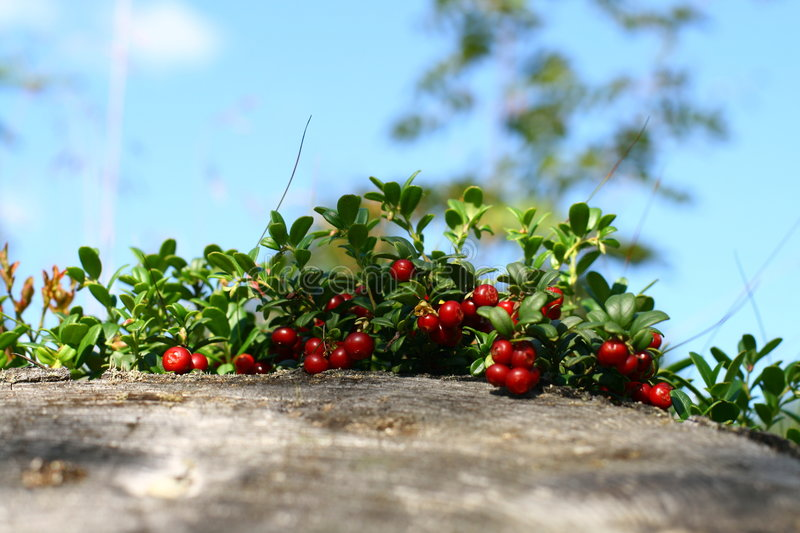 Cowberry. On green nature background royalty free stock photo