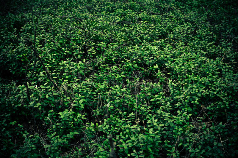 Cowberry background. In wild forest royalty free stock images