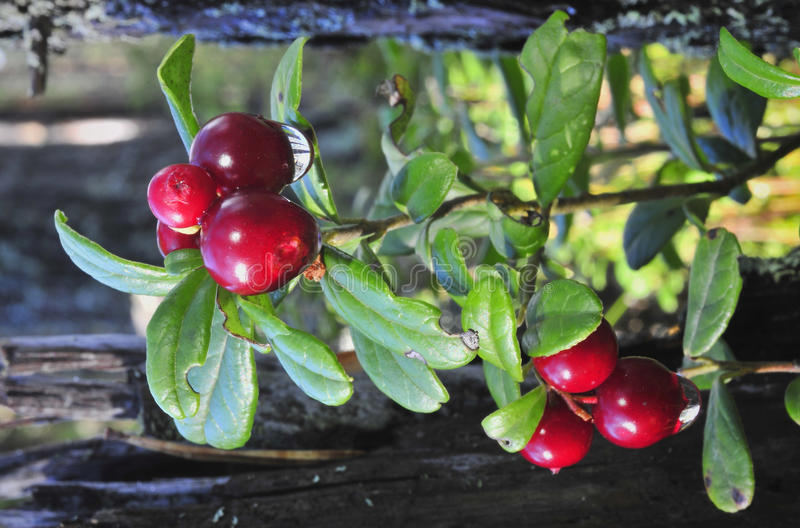 Cowberry with drops. Red ripe  after rain.Cowberry or Lingonberry, Vaccinium vitis-idaea, three red berries stock image