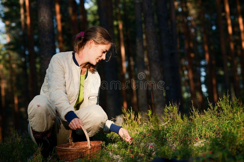Download Cowberry gathering. stock image. Image of collecting - 21117923