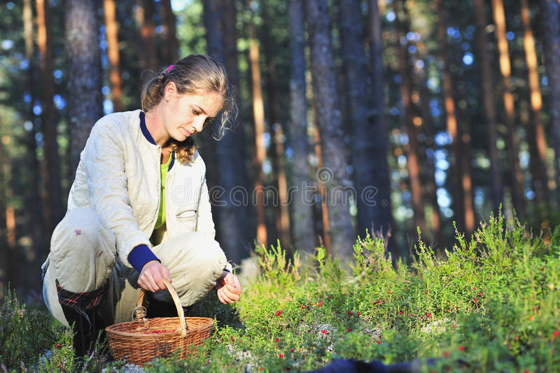 Cowberry gathering. The beautiful girl in wood in the sunny day, having sat down on hunkers, collects a cowberry royalty free stock image