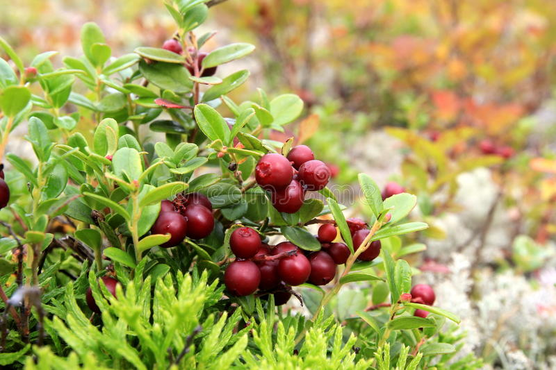 Cowberry. The cowberry grows, a plant, a moss, a bog, wildlife stock image
