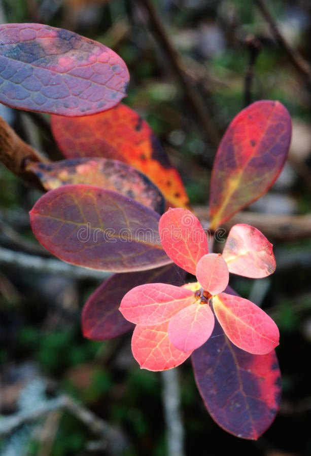 Cowberry leaves. Cowberry Vaccinium vitis idaea red leaves in close-up royalty free stock images