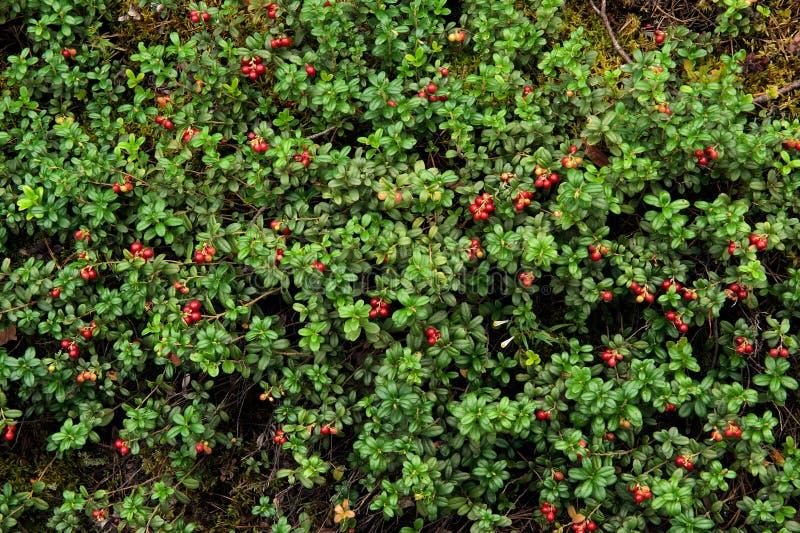 Cowberry or lingonberry (Vaccinium vitis-idaea ) royalty free stock photo