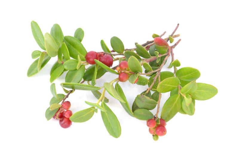 Cowberry Lingonberry (Vaccinium vitis-idaea) isolated on white b royalty free stock photos
