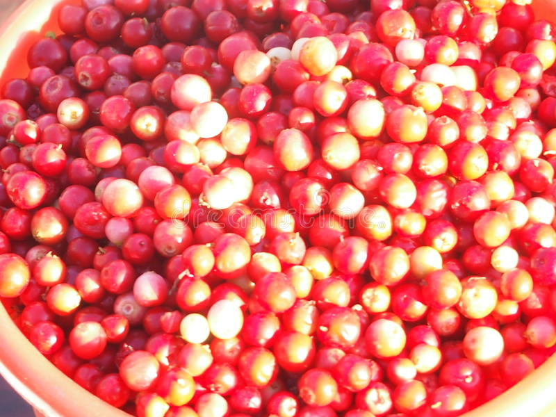Cowberry. The rich crop of ripe and juicy red berries of cowberry is reaped royalty free stock photos