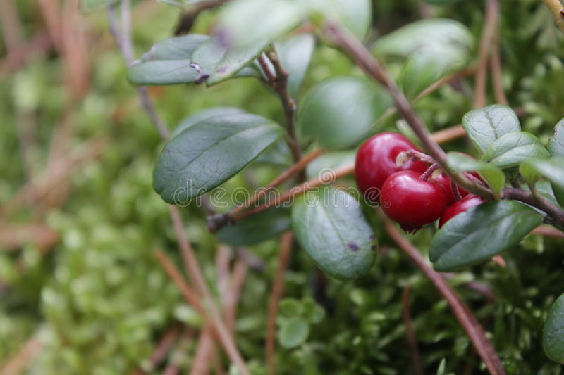 Cowberry. The cowberry in the russian forest royalty free stock images
