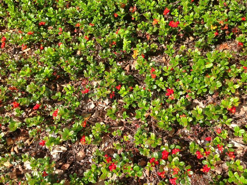 Cowberry tundra green red nature texture background.  stock images