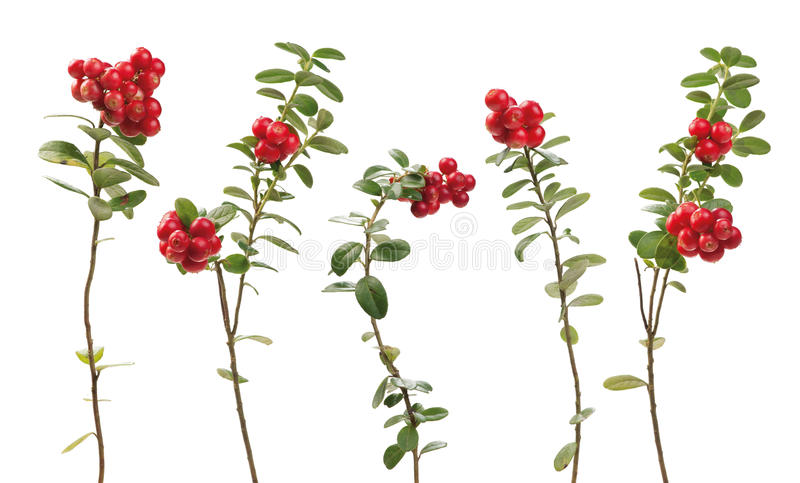 Cowberry twigs. Cowberry (lingonberry) twigs isolated on white background. Vaccinium vitis-idaea stock photos