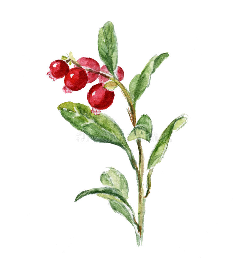 Cowberry. vector illustration