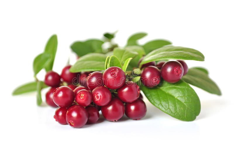 Cowberry. On white background stock photography