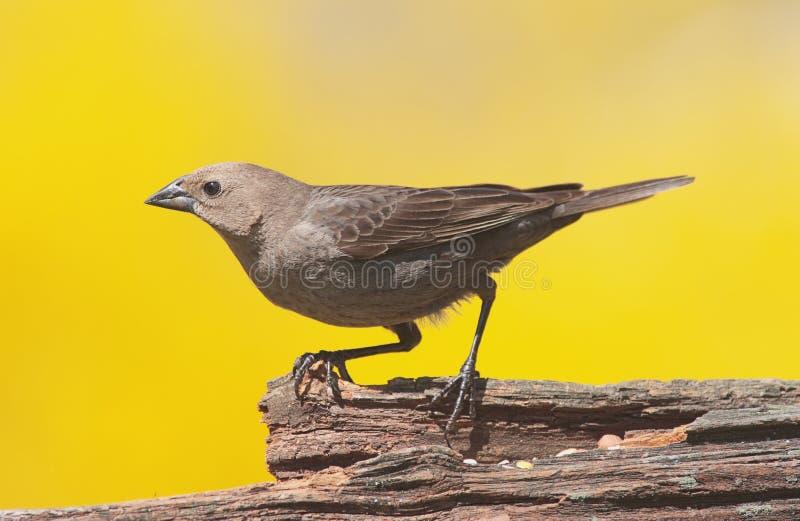 cowbird που διευθύνεται καφε στοκ εικόνες