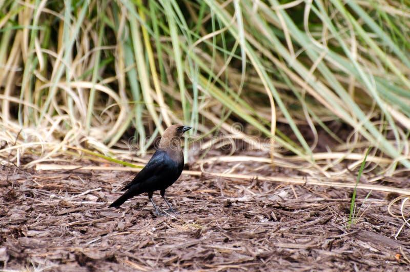 cowbird που διευθύνεται καφε στοκ φωτογραφία