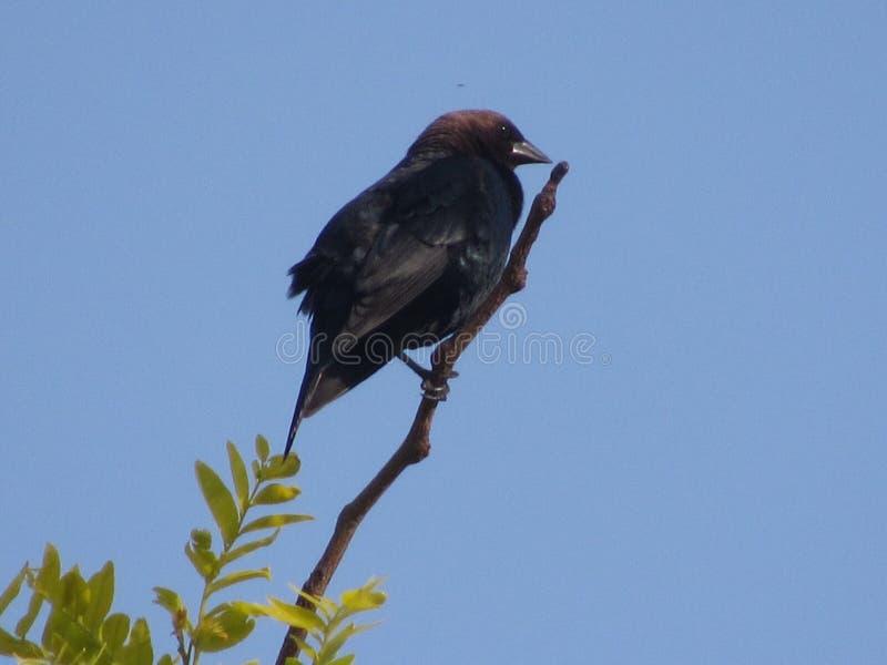 cowbird που διευθύνεται καφε στοκ φωτογραφίες