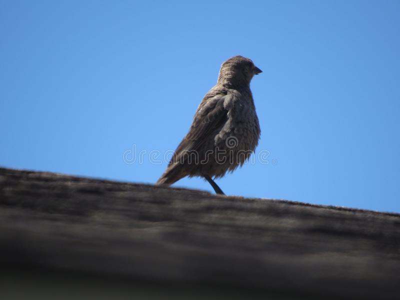 cowbird που διευθύνεται καφε στοκ φωτογραφία με δικαίωμα ελεύθερης χρήσης