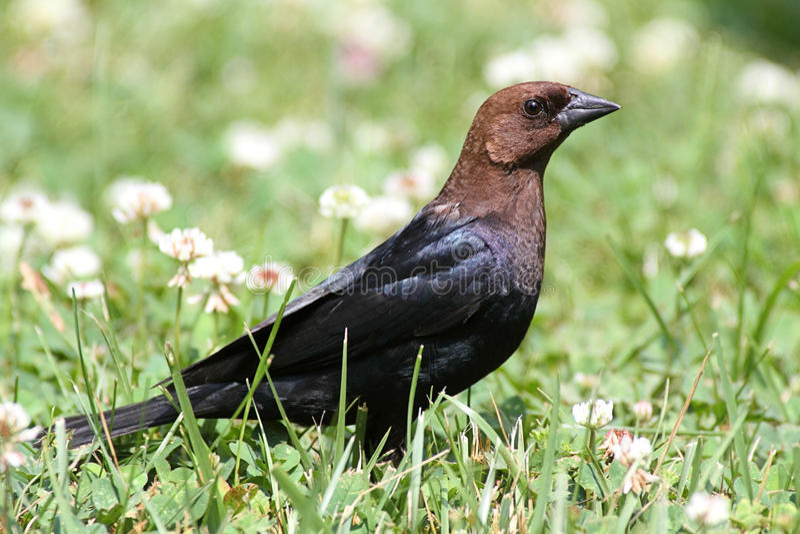 Cowbird fotografia stock