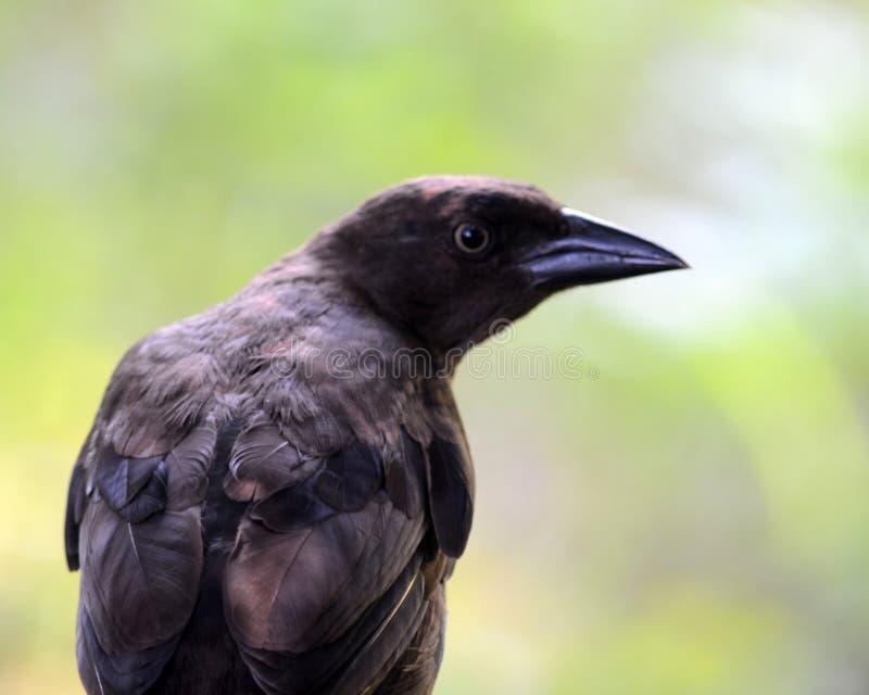 cowbird royalty-vrije stock afbeelding