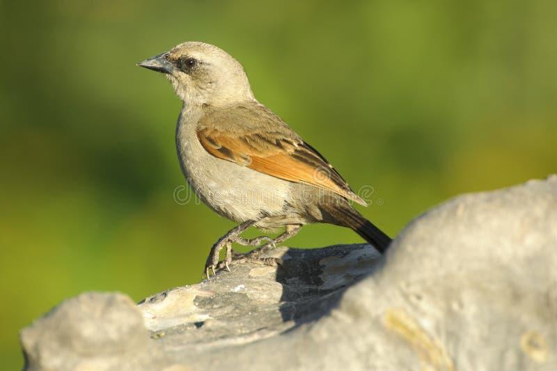 Cowbird Baia-alato (badius di Agelaiodes) fotografie stock