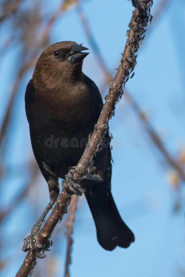 Cowbird Brown-dirigé photographie stock libre de droits