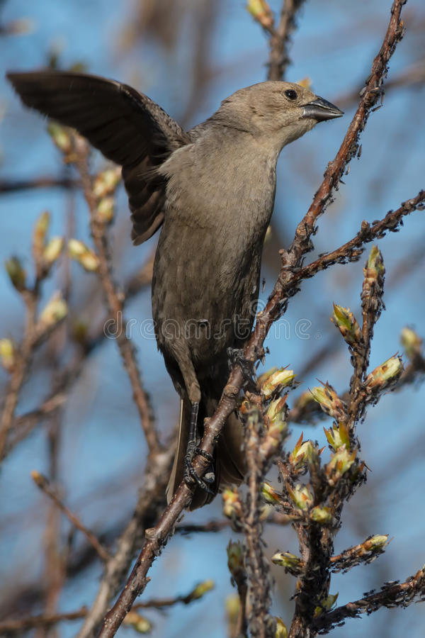 Cowbird Brown-dirigé photo libre de droits