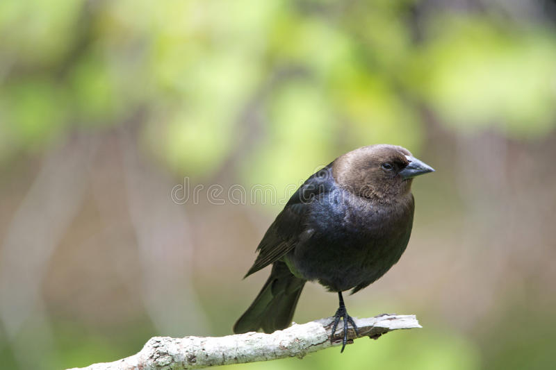 Cowbird Brown-dirigé photo stock