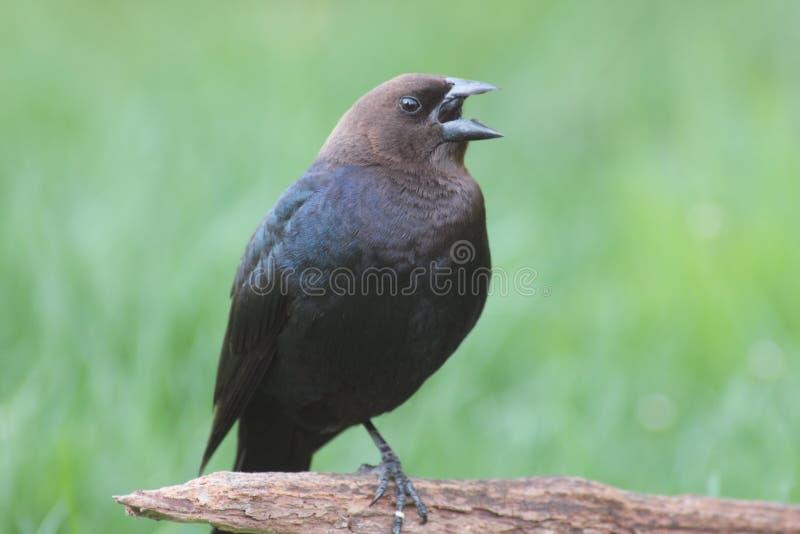 Cowbird maschio fotografie stock